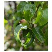 Our gorgeous pear tree is starting to fruit. Summer time in Ireland   📸@enhancelifestyles  #livewell #healthandwellnessjourney #glutenfree #dairyfree #begoodtoyourgut #guthealth  #plantbased #healingjuice #benefitsofjuicing  #tastessogood #drinkingforhealth #nutrientrich #plantsasmedicine  #coldpressedjuice #coldpressedjuices  #juicedeliverydublin #juicedelivery #plantpower #supportirish #greenjuice #therawjuicecompany #therawjuicecompanyireland #pear #peartree #whatwegrowinourgarden
